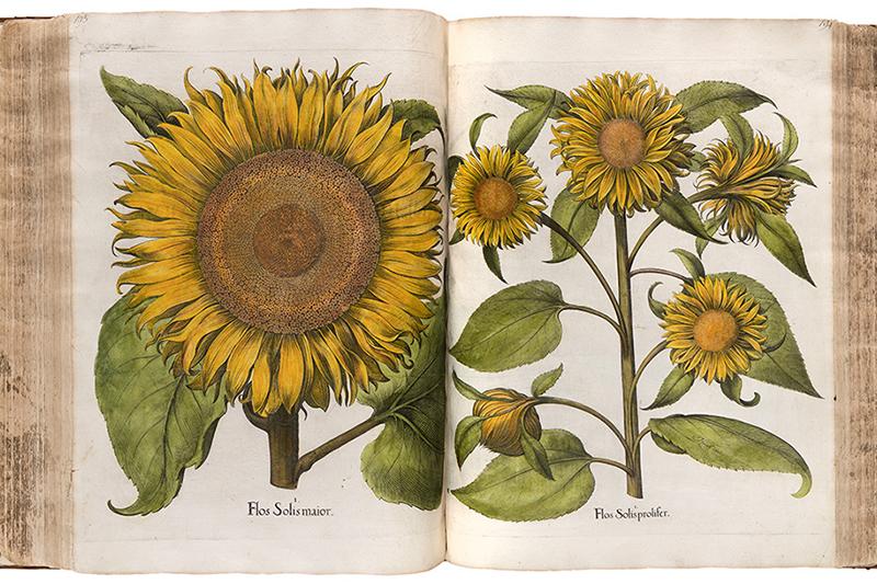 """Bild aus Basilius Beslers """"Der Garten von Eichstätt"""", 1613. Privatsammlung."""