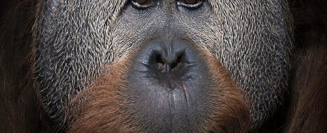 Ein Porträt von Azy, einem 40-jährigen Silberrücken im Simon  Skjodt  International Orangutan Center im Indianapolis Zoo.  Aufgenommen mit einer Nikon D850 unter Verwendung eines 24-70-Millimeter-Nikkor-Objektivs und beleuchtet mit einem Profoto-B-Stroboskop.