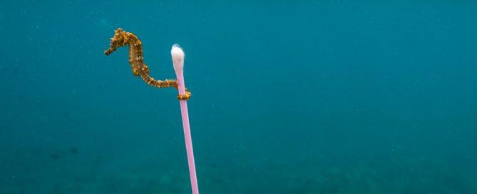 Der Unterwasser- und Naturfotograf Justin Hofman lichtete dieses Ästuarenseepferdchen (Hippocampus kuda) in den verschmutzten Gewässern nahe Sumbawa Besar in indonesien ab. #estuary; #seahorse; #trash; #pollution; #hippocampus kuda; #plastic  foto Justin Hofman